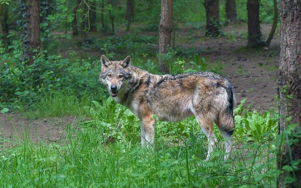 VERJONGING IN HET BOS DOOR KOMST VAN DE WOLF
